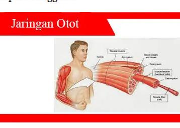 Jaringan-otot-Pengertian-Jenis-Fungsi-Jenis-Struktur